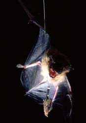"A big brown bat (Eptesicus fuscus) approaches a wax moth (Galleria mellonella), which serves as the control species for the studies of the tiger moths. The moth is only ""semi-tethered,"" allowing it the mobility to fly evasively."