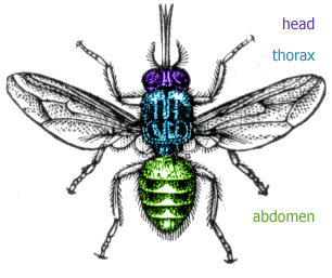 Diagram of a , showing the head, thorax and abdomen