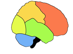 The lobes of the cortex: Red=frontal lobe (movement and judgement), orange=parietal lobe (touch sensation, sensory integration), yellow=occipital lobe (vision), green=temporal lobe (hearing, verbal comprehension), black=medulla oblongata (controls breathing and heart rate). The cerebellum is in blue.
