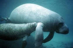 Manatee with calf.