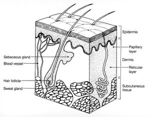 Layers of human skin. Image provided by Classroom Clip Art (http://classroomclipart.com)