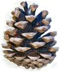 Mature female European Black Pine cone