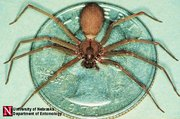Brown Recluse (Photo courtesy of the University of Nebraska)
