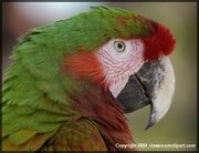 Close Up of a parrot with brightly colored feathers. Image provded by Classroom Clipart (http://classroomclipart.com)