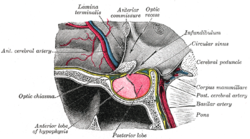 Located at the base of the , the pituitary gland is protected by a bony structure called the .