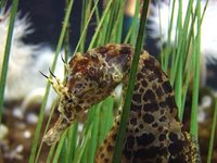 Closeup on the head of a seahorse